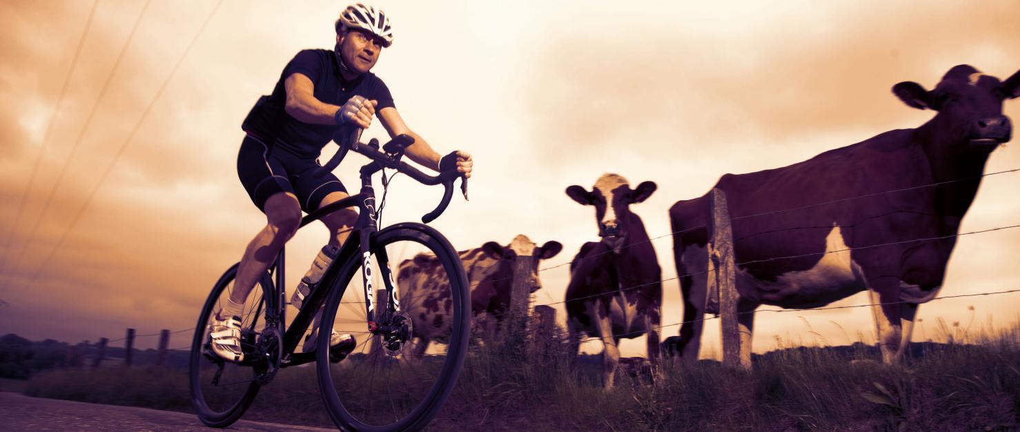 Fietser tussen de koeien